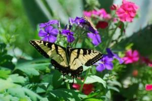 papillon-mormon